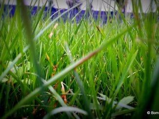 Gras nahansicht